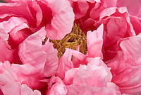 Detail of the petals and stamens of a pink peony.
