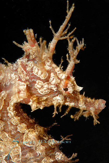 Frilled Seahorse close up, Hippocampus erectus