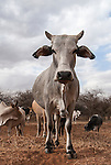 Domestic cattle from Kenya, Amboseli, Kenya