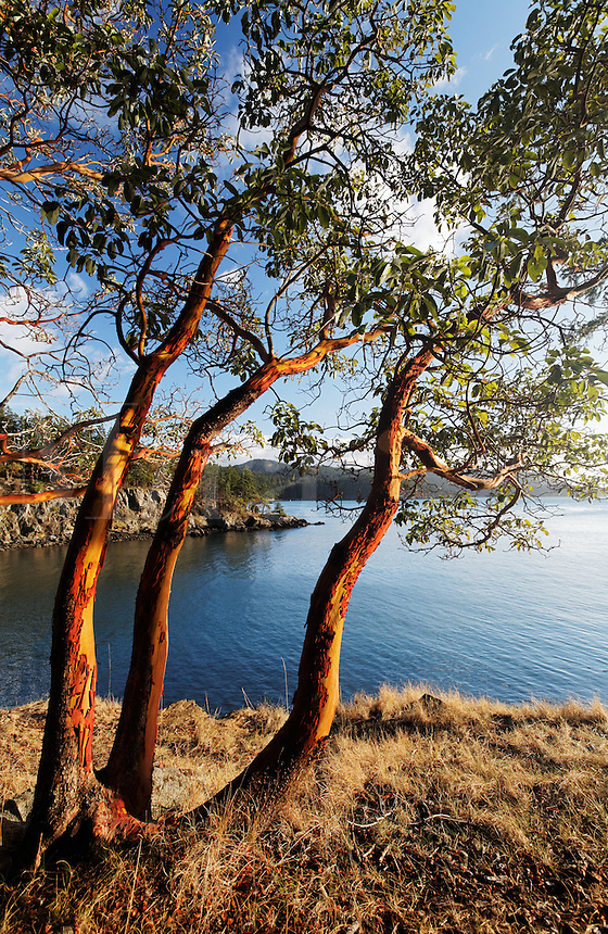 madrone trees san juan islands washington state. Black Bedroom Furniture Sets. Home Design Ideas