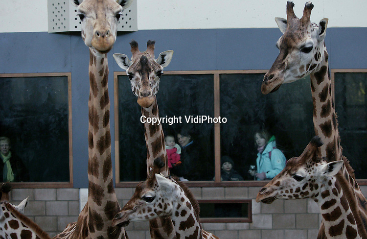 Foto: VidiPhoto..ARNHEM - Om te voorkomen dat staarten en oren door de vorst bevriezen en poten breken, zijn maandag de Safaridieren van Burgers' Zoo naar binnen gebracht. Burgers' is de dierentuin met het grootste stallencomplex ter wereld. Bovendien zijn de dieren achter glas zichtbaar voor het publiek.