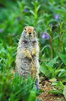 Arctic ground squirrel in bluebell blossoms in the tundra of Denali National Park, Alaska