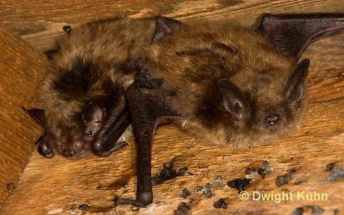 MA20-535z  Little Brown Bats, Myotis lucifugus