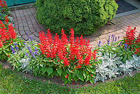 Salvia splendens red, white Dusty miller, blue Salvia farinacea for red white and blue garden color theme