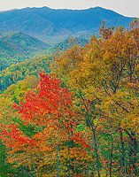 Maples and oaks, Great Smoky Mountains National Park, Tennessee, Below Mt. Le Conte Appalachian Mountains