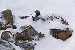 Ermine or stoat, Minnesota