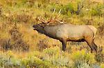 Bull Elk Bugling at Sunrise, Lower Mammoth, Yellowstone National Park, Wyoming