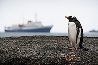 A gentoo penguin (Pygoscelis papua) stands on the shoreline with a ship in the background, South Georgia Island
