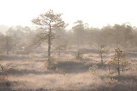 Morning Light in Misty Männikjärve Bog, Endla Nature Reseve, Jõgeva County, Estonia