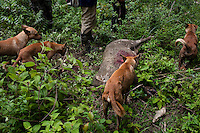 Hunting hobbyists are seen hunting wild boar with professional hunter Ah Kwi and his seven hunting dogs in Bukit Cerul, Kemaman, Terengganu, Malaysia. Boar hunting is encouraged by the authorities to keep the hyper-abundance of these native wild pigs in check..Wild boars are also hunted both for their meat and to mitigate any damage they may cause to crops and forests. A charging boar is considered exceptionally dangerous quarry, due to its thick hide and dense bones, making anything less than a kill shot a potentially deadly mistake.