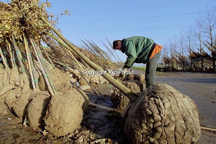 Foto: VidiPhoto..OPHEUSDEN - Vele duizenden jonge bomen worden op dit moment bij boom- en handelskwekerij Martin van der Bijl in Opheusden aangevoerd, opgeslagen en klaargemaakt voor verkoop of export. De herfst- en winterperiode is de toptijd voor boomkwekers. Dan wordt er geoogst. De meeste bomen gaan naar het buitenland. Het gaat economisch weer voor de wind in de boomkweeksector, in tegenstelling tot enkele jaren geleden.