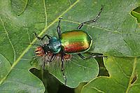 Großer Puppenräuber, mit erbeuteter Schmetterlings-Raupe, Beute, Räuber, Calosoma sycophanta, Calosoma sycophantha, forest caterpillar hunter, European calosoma beetle, ground beetle