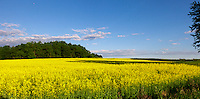 Bright yellow field of canola under a blue sky in the setting sun.