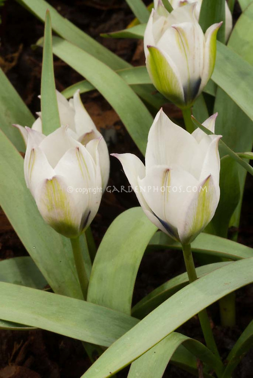 White flowers of the Species tulips Tulipa humilis albocaerulea