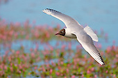 Black headed Gull (Chroicocephalus ridibundus) in flight over water flowers. Common visitor to the garden. Adaptation into urban areas appears to date only to the 'Little Ice-Age', a run of cold-winters in the 1880s and 1890s. Factory workers would feed the birds scraps during their lunch hours.