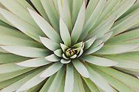 Trecul Yucca, Spanish Dagger (Yucca treculeana), leaves, Sinton, Corpus Christi, Coastal Bend, Texas, USA