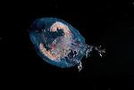 Amphipod Phronema.Celebes Sea