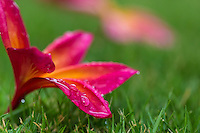 A close-up of fragrant, colorful plumeria blossoms on green grass, O'ahu.