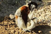 Propitheque couronne ou Sifaka couronne (Propithecus coronatus), Loge des Propitheques, zone Madagascar, new Parc Zoologique de Paris, or Zoo de Vincennes, (Zoological Gardens of Paris, also known as Vincennes Zoo), Museum National d'Histoire Naturelle (National Museum of Natural History), 12th arrondissement, Paris, France. Picture by Manuel Cohen