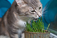 Lucca munches on newly germinated (and nibbled on) oat grass (tack oats; Avena sativa).