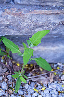 Lambs Quarters, an edible but invasive weed in many urban areas.(Chenopodium album)