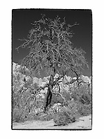 Desert Oak - Black & White - Artist Designed Custom Border