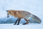 A fox prepares to pounce on a vole hidden under the snow in Yellowstone National Park in Wyoming, USA, on Feb 10Th 2015.  Photo by Gus Curtis.