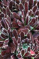 Sempervivum 'King George' succulent plant named for royalty