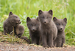 "Arctic fox (Vulpes lagopus), Pribilof race (""Blue Fox""), four sibling cubs sitting together, one scratching, summer, St. Paul Island, Pribilofs, Alaska, USA"