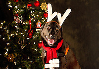 Doogie is photographed at a Muttmixer holiday party thrown by City Dog magazine in Seattle, WA on December 09, 2010. (photo by Karen Ducey)