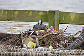 Coot (Fulica atra) With chicks on litter strewn nest. Not all coot families seem to have stately nests, this nest seems to reflect the views humans have on our own society with people living in poverty. However this is a solid nest in a very secure site, with plentiful food, and the rubbish seems just fit for purpose, although with potential to harm the little chicks if ingested. Coots aggressively defend their young and territory during the breeding season. In contrast, Coots have also been known to kill their own young, usually the youngest of the brood if they have too many to feed successfully, Lancashire, UK