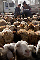 Sheep and lambs stand waiting for sale at the Sunday Animal Market outside Kashgar, Xinjiang, China.  Throughout history until the late 1990s, the Kashgar animal market occurred throughout the city, but has since been moved to a special location outside the city.