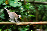 Ring-tailed lemur moves across horizontal tree trunk
