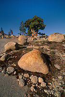 141400019 a magnificent western juniper juniperus occidentalis rises majestically from boulder strewn hillside in the yosemite high country yosemite national park california