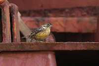 yellow breasted bunting taken aboard a container ship south east of Tianjin, China