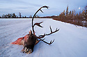 Canada,Yukon; Head of caribou bull on Dempster Highway during caribou hunting season, fall