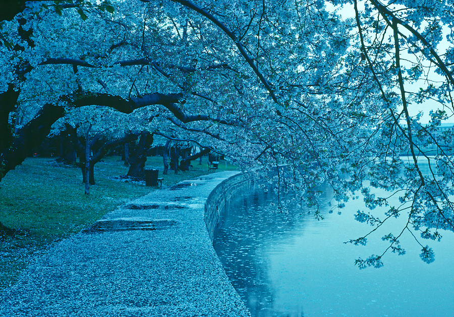Cherry Blossoms, Branch, West Potomac Park, Tidal Basin, Washington D.C., District of Columbia