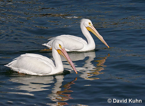 0727-0803  American White Pelican, Pelecanus erythrorhynchos © David Kuhn/Dwight Kuhn Photography.