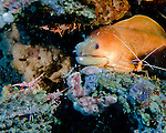 "A moray eel peers out from a crevice, surrounded by watchful shrimp.  Even with the photographer's approach, the moray seems to have the undivided attention of all the shrimp in the scene.  Shrimp visible in the picture include camel shrimp, red-striped cleaner shrimp (also and more formally known as ""scarlet skunk cleaner shrimp""), and ordinary spotted cleaner (reef) shrimp.  The shrimp at lower left are camel shrimp (also known as dancing shrimp or candy shrimp); they eat detritus but do not clean other animals (unlike the peppermint shrimp, which is a ""cleaner"").  The yellow-red shrimp to the right and the semi-transparent shrimp around the moray are all cleaners; most likely they are hoping to climb onto the moray to clean off parasites.  (In the event, my lights disturbed the moray and it withdrew, so I never knew if it got cleaned or not.)"