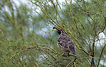 Gambel's quail, Arizona