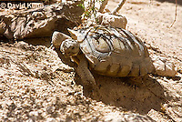 0609-1034  Desert Tortoise (Mojave Desert), Gopherus agassizii  © David Kuhn/Dwight Kuhn Photography