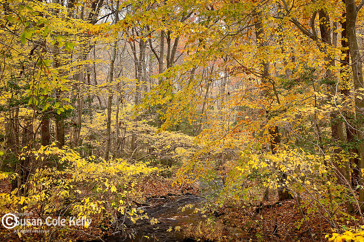 Autumn brightens the Beech forest at Weetamoo Woods Preserve, Tiverton, RI, USA