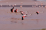 Andean flamingos (Phoenicopterus andinus), Eduardo Avaroa National Andean Fauna Reserve, Bolivia <br />