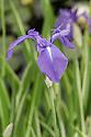 Iris laevigata 'Variegata' (Variegated Japanese iris), mid May.