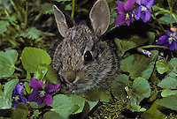 Eastern Cottontail rabbit (Sylvilagus floridanus) hiding in wild violets midwest USA