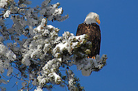 Bald Eagle (Haliaeetus leucocephalus), Yellowstone National Park, Winter, Wyoming, United States of America.