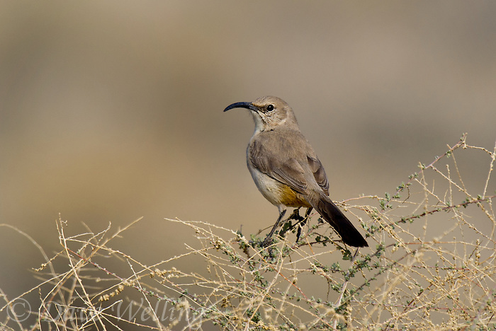 581970001 a wild leconte's thrasher toxostoma lecontei perches on a sagebrush plant stem in kern county california