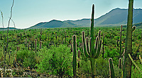 Saguaro cactus, Saguaro National Park, Arizona, USA (Carnegiea gigantea), landscape