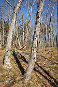 Shagbark Hickory forest during the spring months in Pawtuckaway State Park in Nottingham, New Hampshire USA.