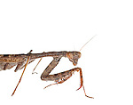 Carolina Mantis (Stagmomantis carolina)